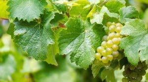 raisin vin blanc vallee rhone