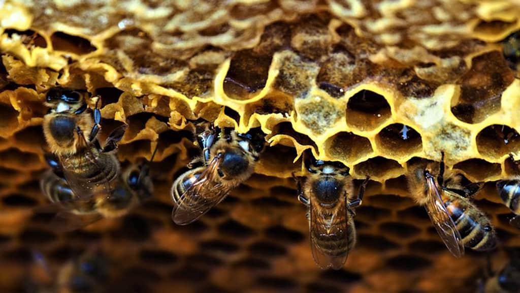 saison pommiers en fleur abeilles ouvrieres reines