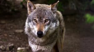 loups france elevages mesures gouvernement