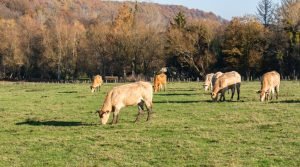 canicule vache rafraichir agriculteur