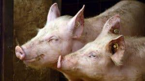 elevage porc lamballe biogaz methaniseur cooperl emeraude bio energie