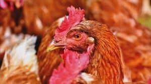 poulet volailles pas de calais prefecture autorise elevage