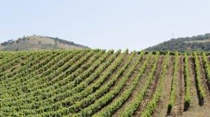 vignes gard herault brulees canicule