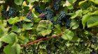 biodiversite syndicat vignerons cotes du rhone vignes afp