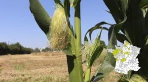 récolte des maïs ensilage mise a jour 26 juillet