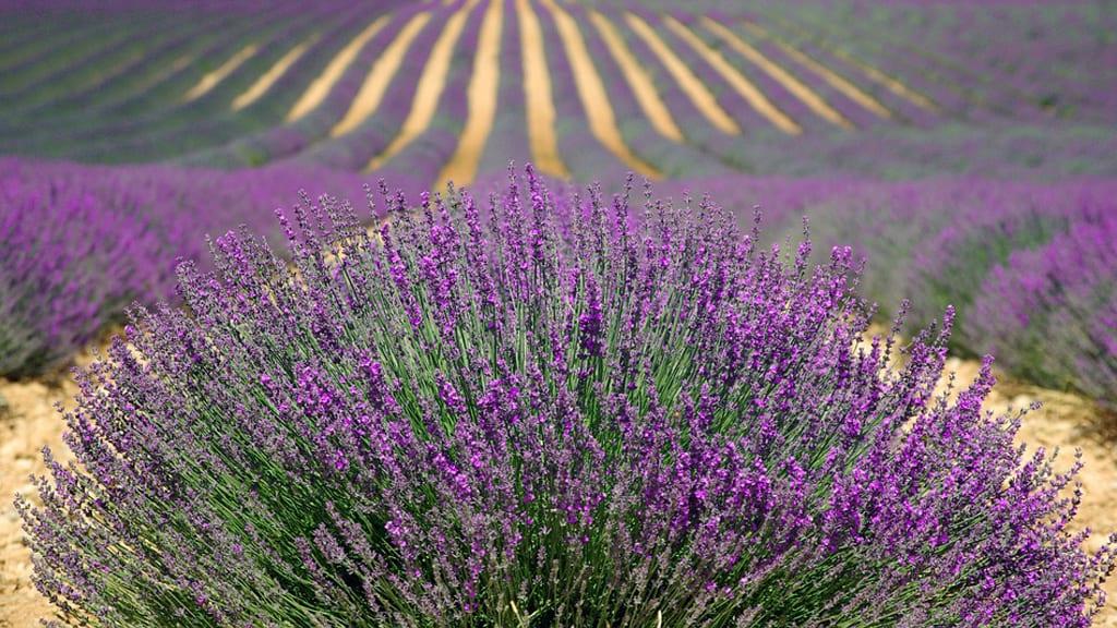 lavande fleure prosperite agriculteurs