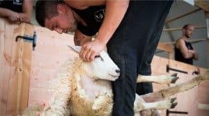 tonte physique mental moutons championnant monde