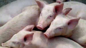 Innov'Space : réaliser des interventions sur les porcs avec l'injecteur IDAL, devrait générer des gains de temps, moins de pénibilité et une économie de consommables.