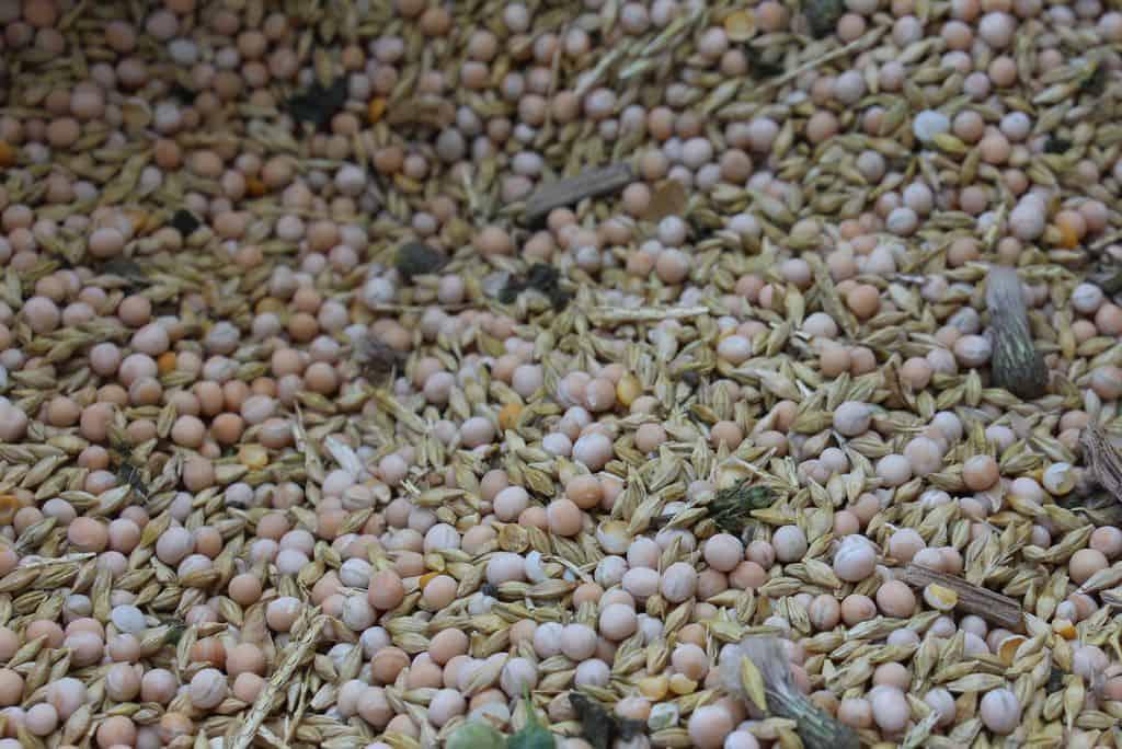 Grains de pois et d'orge à la récolte
