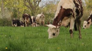 noms des vaches Normandes dans une prairie fleurie
