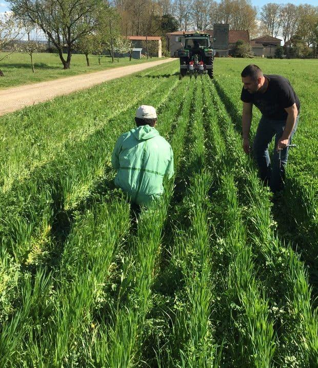 arvalis essais blé dans luzerne
