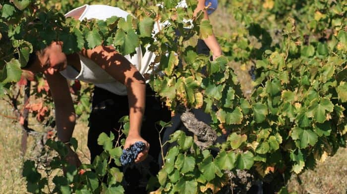 vendange touristique autorise cadre legal clarifie vigneron domaine production oenotourisme
