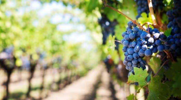 vignes bourgogne gendarmes voleur raisins