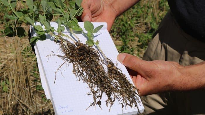santé sols développement nodosités plant pois fourrager 1 mois après semis