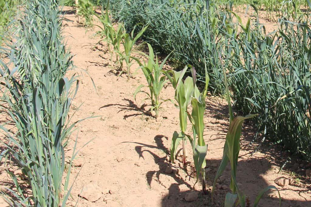 Maïs cultivé avec de l'avoine en plante compagne