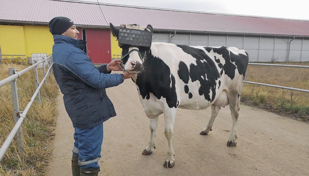 bien-être des vaches, casque de réalité virtuelle