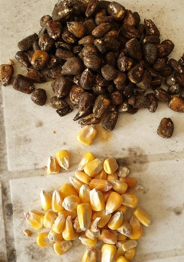 enrobage de semences Thé de compost (TCO)