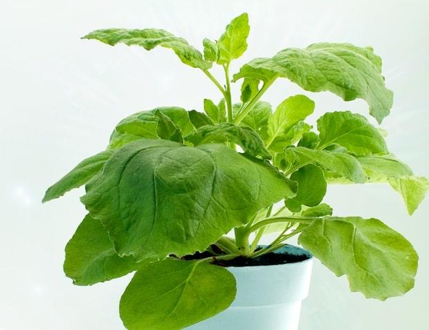 plante mystère Nicotiana benthamiana