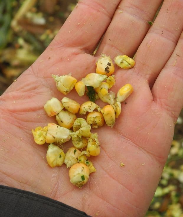 essai ensileuse Elvup éclateur maïs grain