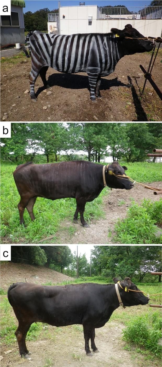 Photo mystère vache zèbre