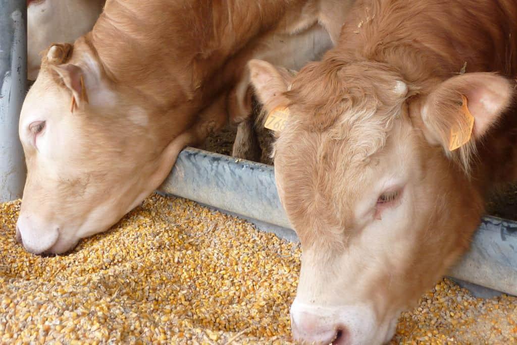 Engraissement de bovins avec du maïs