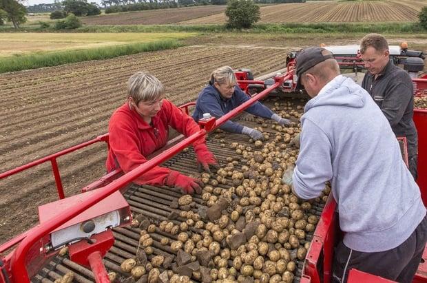 récolte pommes de terre avec machine Grimme